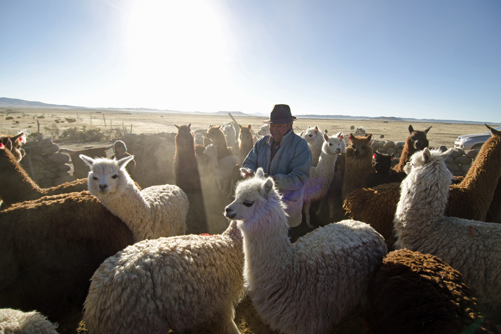 Herding animals, such as llamas in Boliva, are used to produce wool for clothing production.