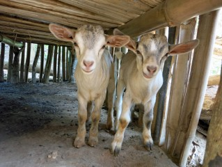 Mwapili's goats have already given birth to two kids.
