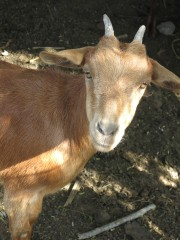 Goats provide a source of nutrition and extra income.