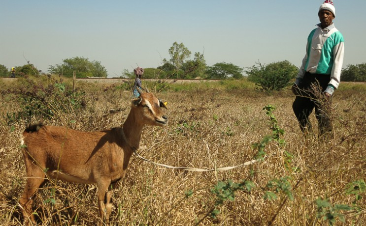 Mozambique goat program animals and agriculture