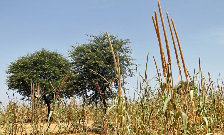 Bringing the Australian Acacia to Niger