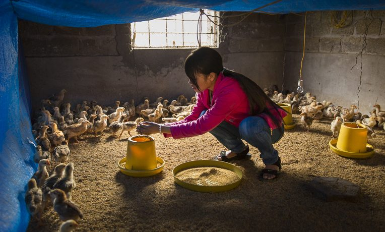 Learning to raise healthy farm animals like chickens can be a big help to families in poverty.