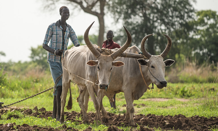 When we provide oxen for a hard-working farmer, we not only help him increase his harvest but also reap opportunities to share the Way of the Cross. Your gift enables us to provide an ox, donkey, or other livestock—or even a cart and a plow that will lighten the burdens of a farm family.