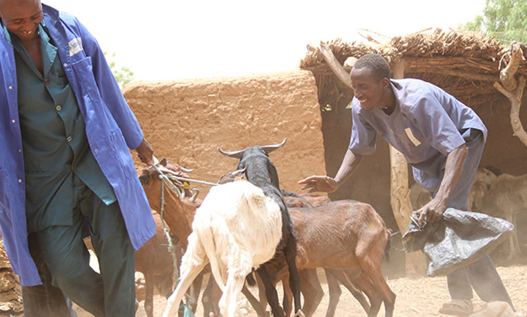 Goats in Niger