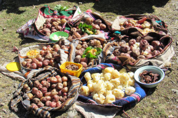 Farmers brought a portion of their potato crop for a shared lunch that also included meat, cheese, and eggs.
