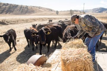 Pastor Bill feeds some of his 200 head of cattle.