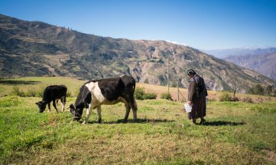 Dairy cows in Bolivia