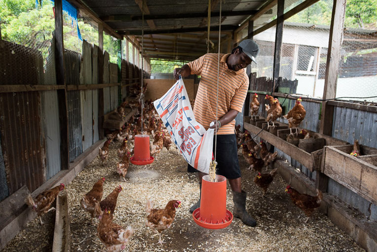 A poultry farmer on Dominica.
