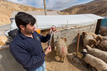 Our staff veterinarian provides vaccines for a flock given to one Yazidi widow who lives in a tent on top of Sinjar Mountain.