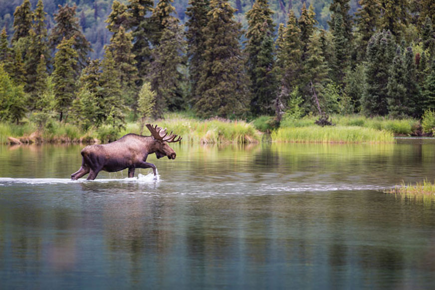 The sighting of a bull moose on Kijik Lake is one of the many unique wildlife experiences in Lake Clark National Park.