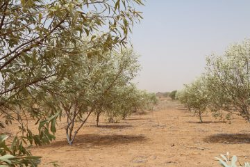 Acacia trees are resilient, even in the dry ground of Niger.